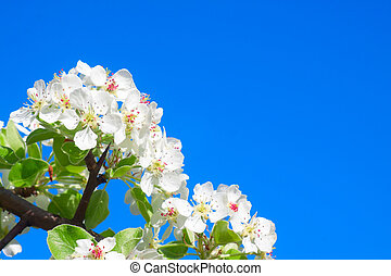 pear-tree, blossomed